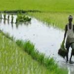 kharif-crops-b-19-8-2012
