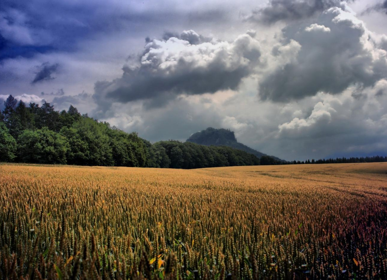 Rain In March To Pour Woes For Mustard Wheat Production