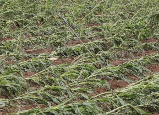 crop damage in Maharashtra