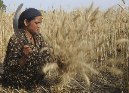 Wheat Harvest In North India to be Delayed due to Unseasonal Rain
