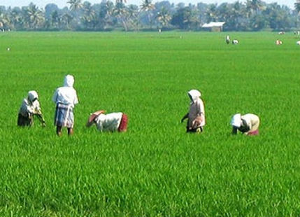 Paddy_fields_in_India