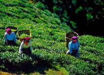Tea Industry India Challenges