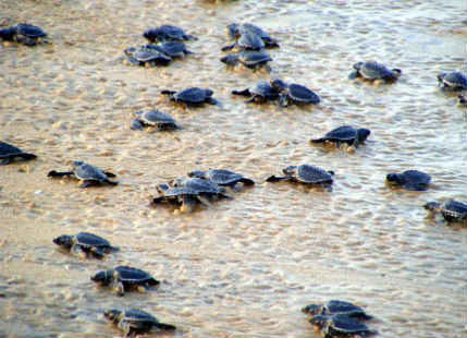 Odisha bans fishing for seven months to protect Olive Ridley turtles