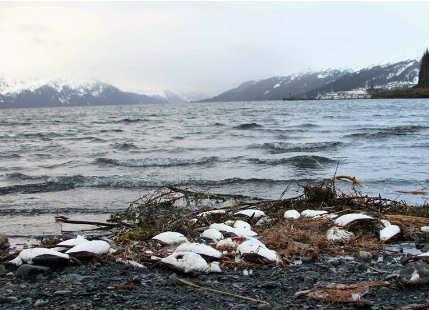 Dead Alaskan seabirds
