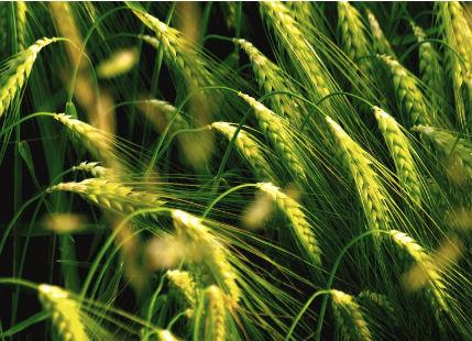 wheat-field-5_00450706