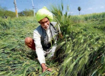 Wheat crop damage due to rain and hailstorm in Punjab,