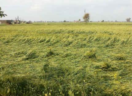 Unseasonal rains, hailstorm damage crops across Indo Gangetic Plains