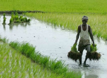 Paddy crop in India Civilsdaily 429