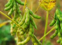 Soybean Greenpeace 429