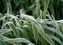 Frost on wheat_Grain research 429