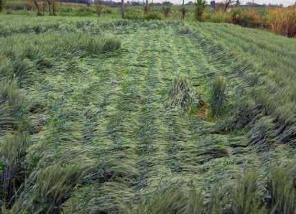 Crop damage in MP