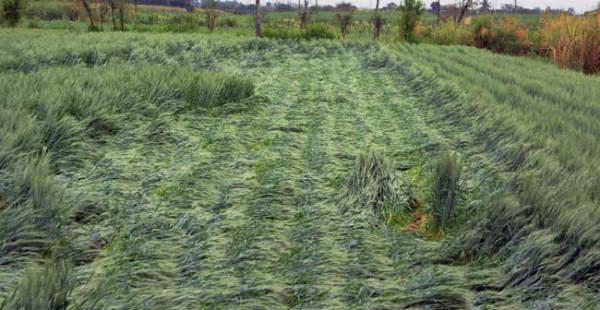 Wheat-crop Damage