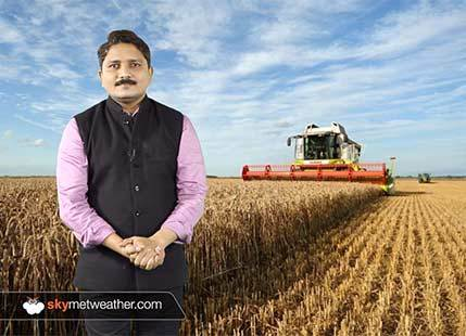 Government may impose import duty on wheat again