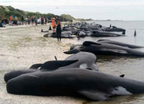 More than 400 Whales left stranded on New Zealand beach