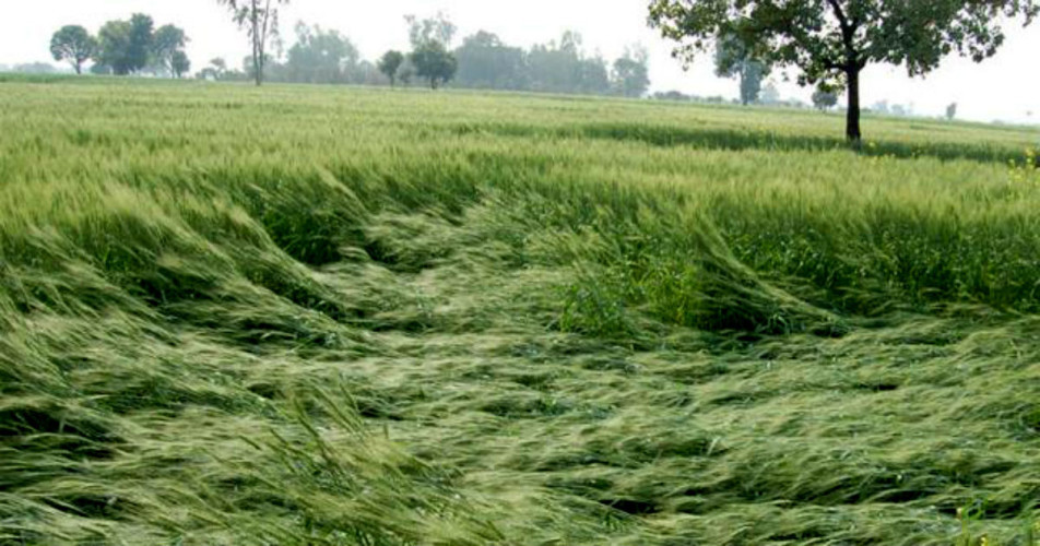 Crop damage in Rajasthan