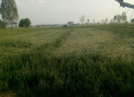 Hail storms affected wheat crop