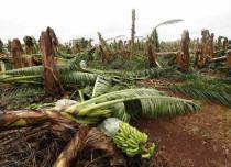 Thunderstorm, strong winds damage banana plantations in Telangana
