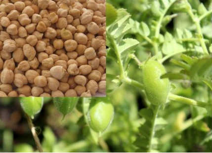 Chana crop in India