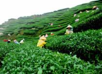 Tea production in Assam