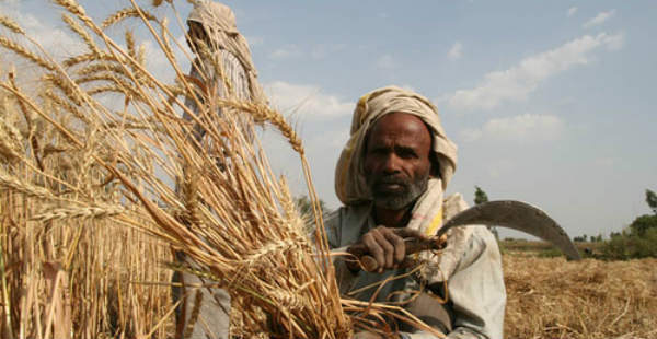 Wheat harvesting_ Flickr 600