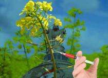 GM-mustard-lead