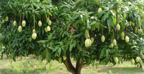 Dushehari Mango in malihabad