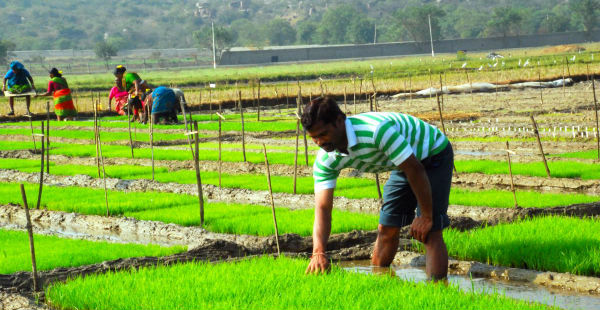 Paddy sowing in Bihar