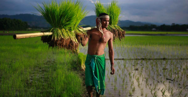 Paddy sowing in India
