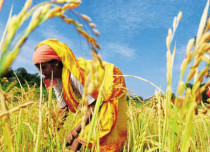 Paddy production in India