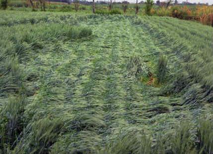 Rain, hailstorm damage crops in Madhya Pradesh, lightning kills 4