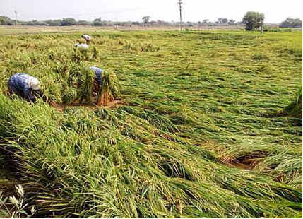 Heavy rains trigger massive Maize and Mango crop damage in Telangana