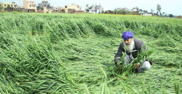 Wheat crop damage_The Tribune 600