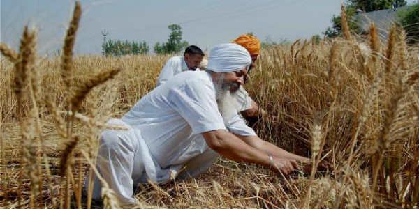 Wheat crop in Punjab