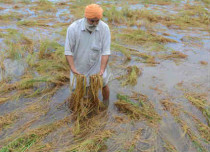 Crop damage in Punjab Haryana featured