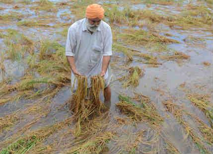 Crop damage in Punjab Haryana featured