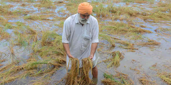 Crop damage in Punjab Haryana website