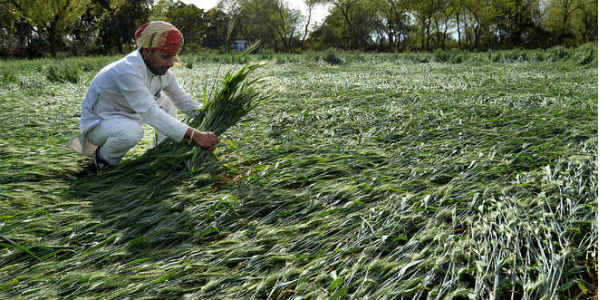 Crop damage in Punjab