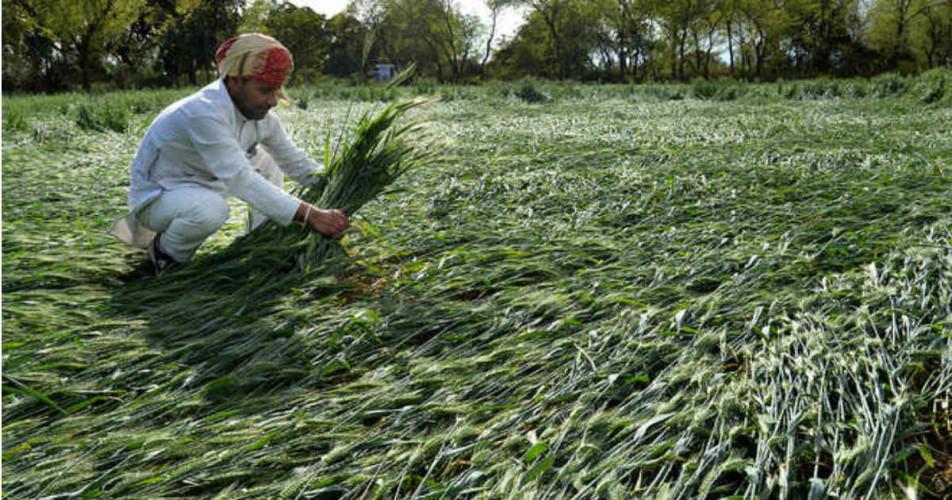 Crop damage in Punjab