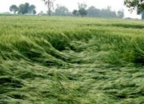 Crop damage_Rain hail_Hindustan Times 429