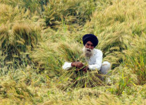 Hailstorm in Punjab, Haryana, West UP may damage wheat, black gram and mustard crops