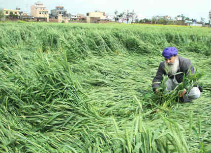 Crop damage in Punjab and Haryana
