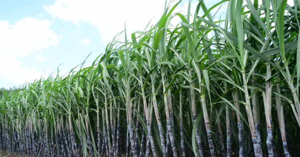 Sugarcane and Economy