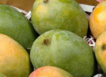 Kesari Mangoes