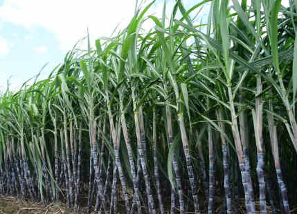 Sugarcane and Agriculture