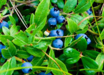 Blueberries Plant