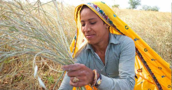 Crop Damage in Rajasthan