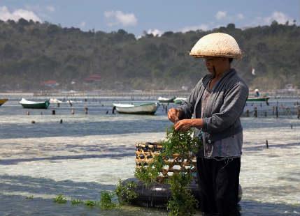 seaweed in India