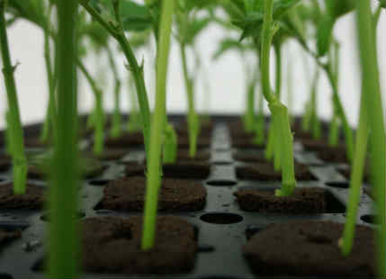 Cloning in Agriculture