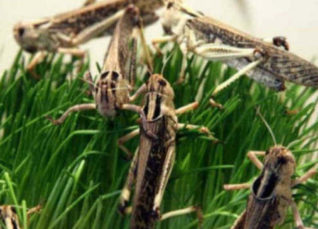 Locust attack in Rajasthan