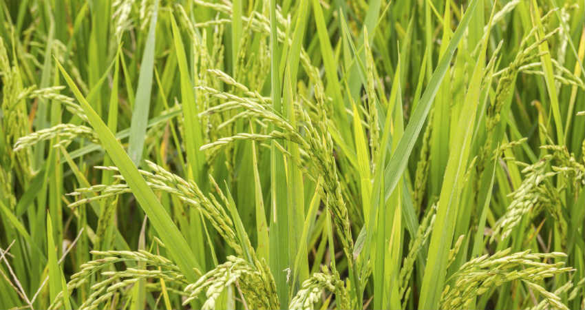 Climate Change and production of Rice